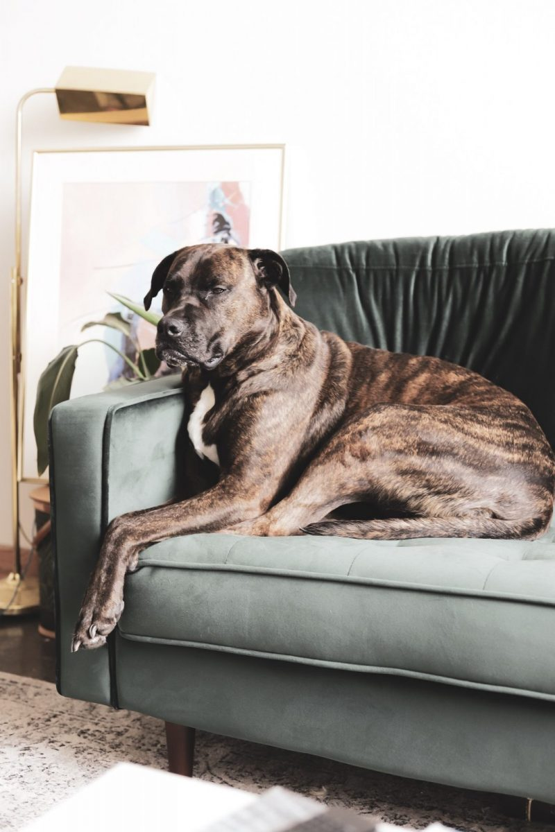 best large dog breeds for apartments